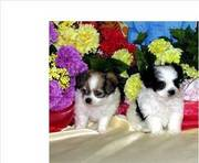 Litter Trained Chihuahua Puppies For Sale